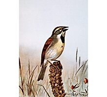 Dickcissel Bird Illustration Photographic Print
