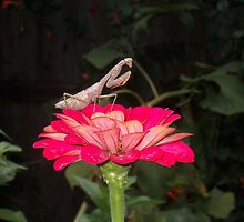 Praying-mantis on Red Zinnia by sandycarol