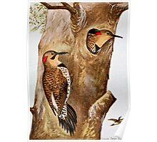 Flicker Birds Vintage Picture Poster