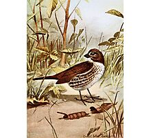 Fox Sparrow Bird Art Photographic Print