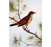 Hermit Thrush Vintage Art Photographic Print