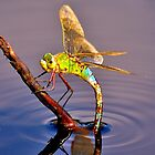 Broad Bodied Chaser  by NaturesEarth