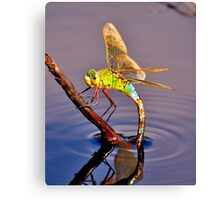 Broad Bodied Chaser  Canvas Print