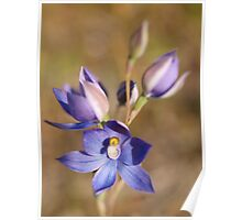 Wild-Flowers of the Goldfields - Native Orchid Poster