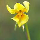 Wild-Flowers of the Goldfields - Native Orchid Yellow by Rosemaree