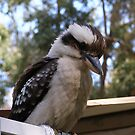 Hey you down there! Laughing Kookaburra. by Rita Blom