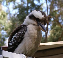 Hey you down there! Laughing Kookaburra. by Rita Blom