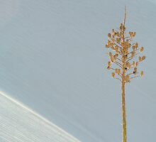 White Sands Yucca by Mitchell Tillison