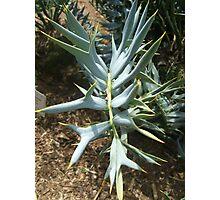Encephalartos horridus Photographic Print