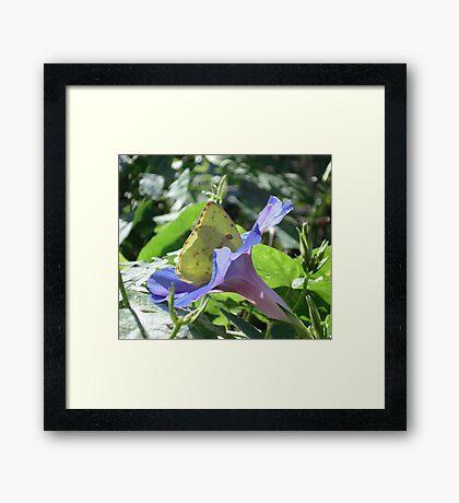 Sulphur Butterfly  in Morning Glory 2 Framed Print