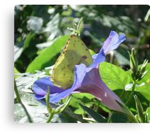 Sulphur Butterfly  in Morning Glory 2 Canvas Print