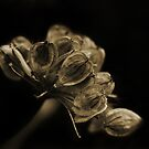 Heracleum sphondylium by Claire Armistead