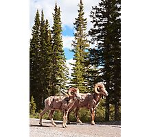 Bighorn brothers Photographic Print