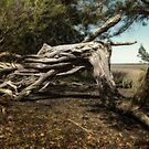 gnarled and twisty by g richard anderson