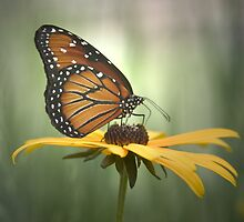 Monarch on a Daisy by Yuri Lev