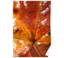 Wet Sycamore leaf Poster