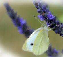 White butterly on lavender by cherryannette