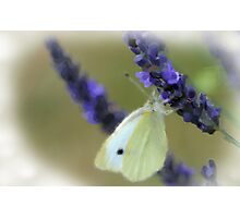 White butterly on lavender Photographic Print
