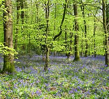 Forest of Dean Bluebells by Sally-Anna