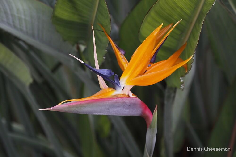 Bird of Paradise by Dennis Cheeseman