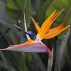 Bird of Paradise by Dennis Cheeseman
