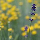 Lavender and Santolina by JaimeWalsh