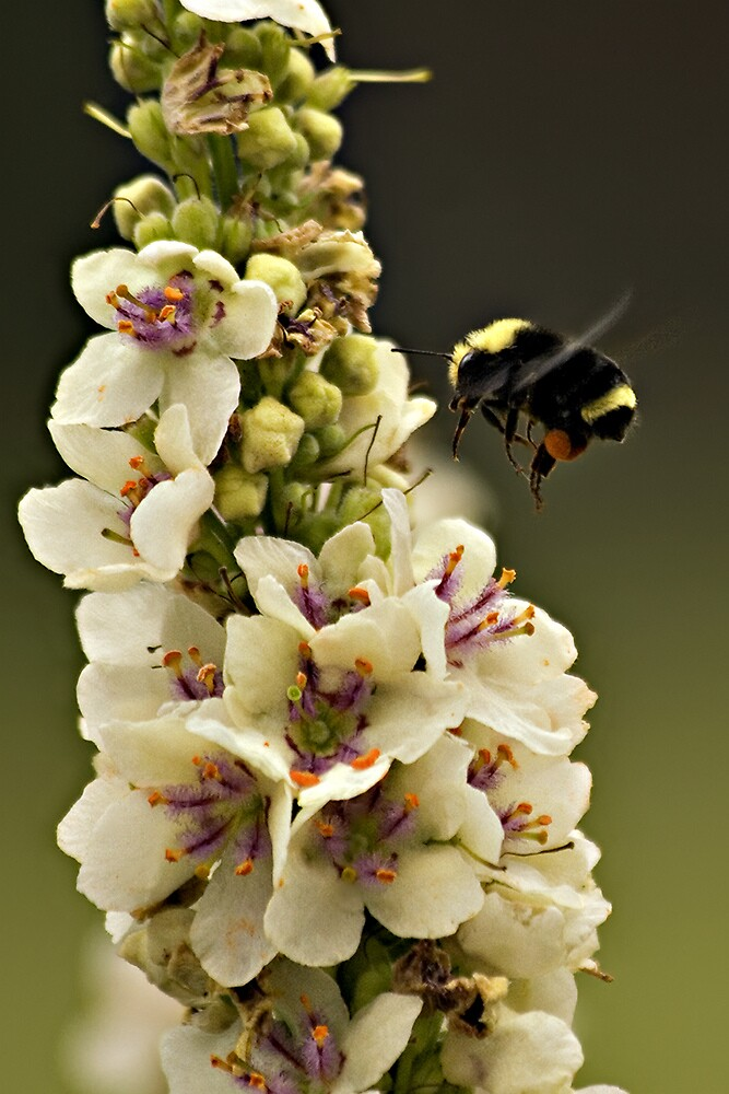 Bee and Verbascum by TeresaB