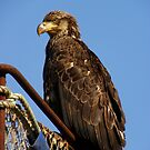 Young Eagle #1  by lanebrain photography