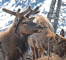 Bull Elk in Velvet  by Dyle Warren
