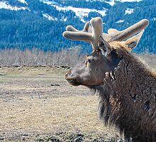 Bull Elk In Velvet (2) by Dyle Warren