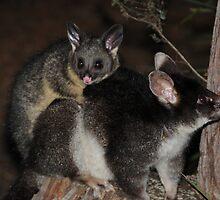 possum piggyback by AndrewBentley