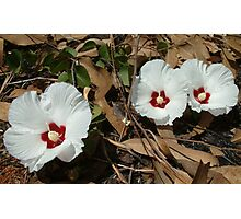 Native Hibiscus Photographic Print