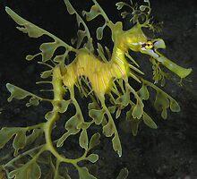 Leafy Seadragon by Aengus Moran