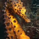 Big Belly Seahorse by Aengus Moran