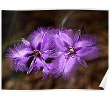 Purple Fringe Lily Duo - Mt Cannibal, Victoria, Australia Poster