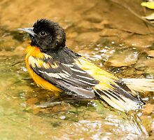 baltimore oriole 1  2015 by RosiesPhotos