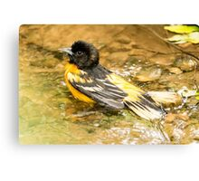baltimore oriole 1  2015 Canvas Print