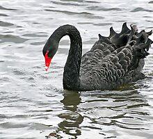 Black Swan - Cygnus-atratus - Abbotsbury by Susie Peek