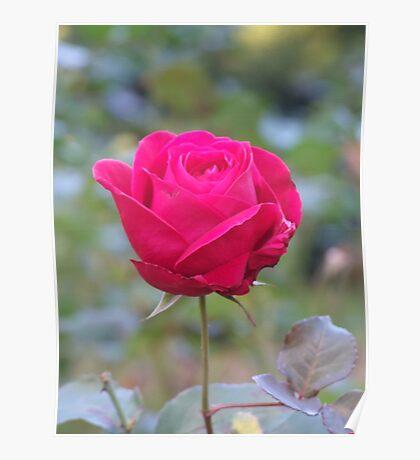 Perfect rose Poster