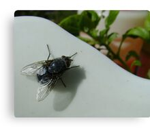 housefly (Musca domestica), on jug in garden Canvas Print