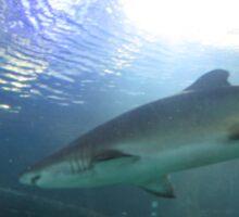 Black tip Reef Shark Sticker