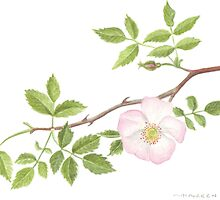 Wild Rose by Maureen Sparling