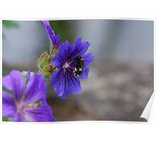 Bumble Bee. Bombus Terrestris Poster