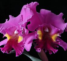Best red Cattleya - –Brassolaeliacattleya (Blc.) Lucky Strike by David Galson