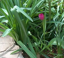 Pink Tulip Among the Green by sandycarol