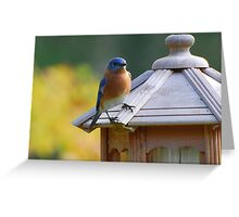 Eastern Blue Bird Greeting Card