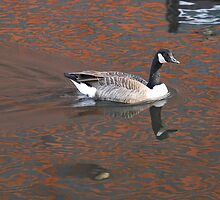 Reflection with Canadian Goose  Birmingham Canal by Barry Culling