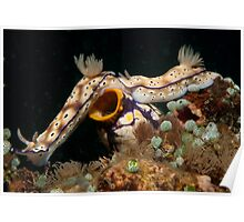 Tailgaiting nudibranchs, North Sulawesi, Indonesia Poster