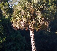 Sabal Palm, the State Tree of Florida by rd Erickson