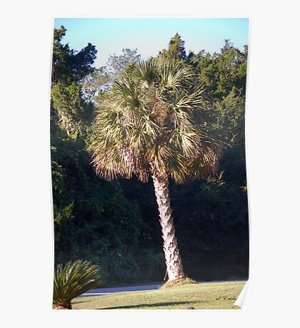 Sabal Palm, the State Tree of Florida Poster
